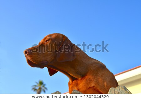 staring vizsla dog with blue sky stock photo © brianguest