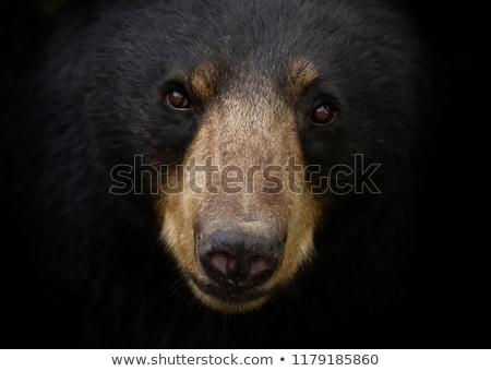 étroite noir ours parc danger Photo stock © mtilghma