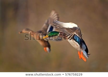 mallards, wild ducks Stock photo © Arrxxx