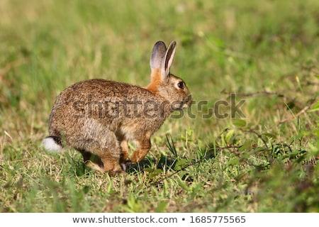 Selvatico coniglio erba verde primavera verde mangiare Foto d'archivio © stevemc