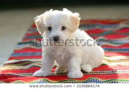 maltese puppy Stock photo © eriklam