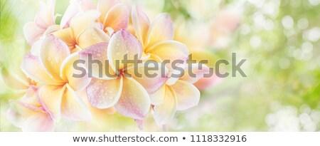 Rosa gocce d'acqua isolato bianco giardino impianto Foto d'archivio © adamson