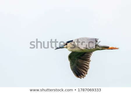 Nacht reiger wild water zomer vogel Stockfoto © OleksandrO