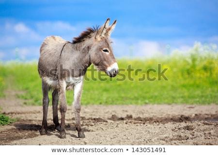 Stock photo: Small grey Donkey