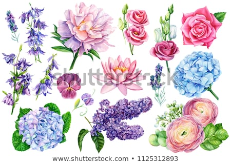 ranunculus and pansies stock photo © val_th