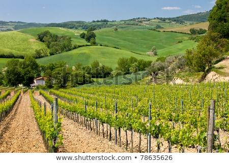 Vineyard near Montepulciano, Italy Stock photo © macsim
