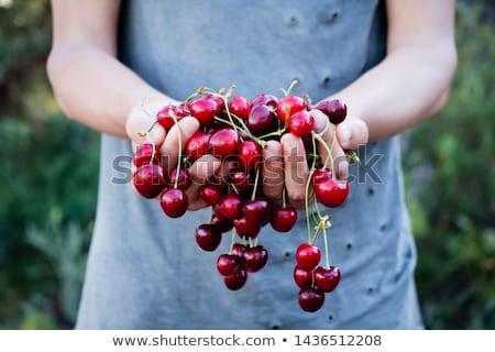 Cerise main nature fruits ferme Photo stock © tangducminh