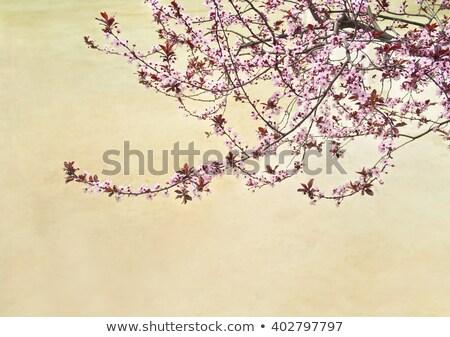 Família virágzó sakura Barcelona Spanyolország épület Stock fotó © artjazz