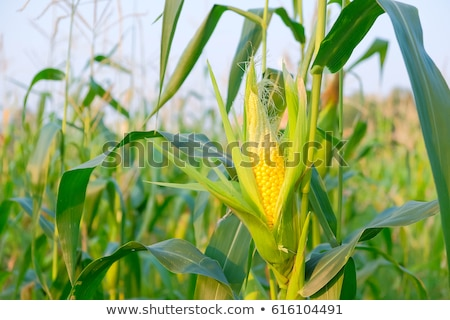 corn maize farm Stock photo © elwynn