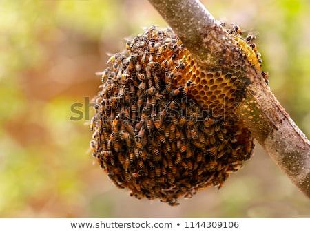Pszczół ul drzewo Indie Pszczoła Zdjęcia stock © Mikko