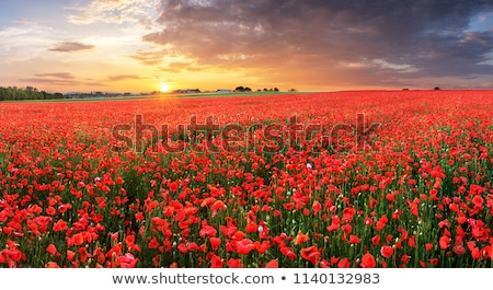 Red flower on the field. Stock photo © c-foto