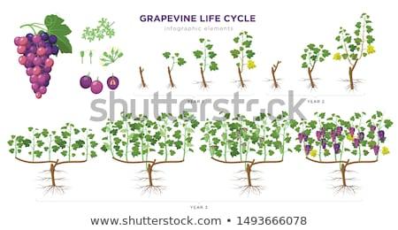 ヴィンテージ · フレーム · クラスタ · ブドウ · 緑色の葉 · 孤立した - ストックフォト © yuran