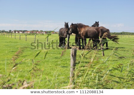 Stock photo: Frisian Horse Grazing