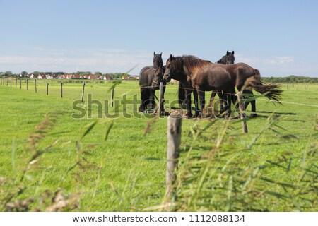 frisian horse grazing stock photo © castenoid