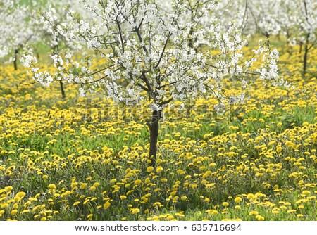 Stock fotó: Pitypangok · virágzó · mező · citromsárga · tavasz · legelő
