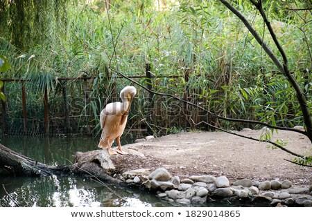 pelican catching stream of water Stock photo © Mikko