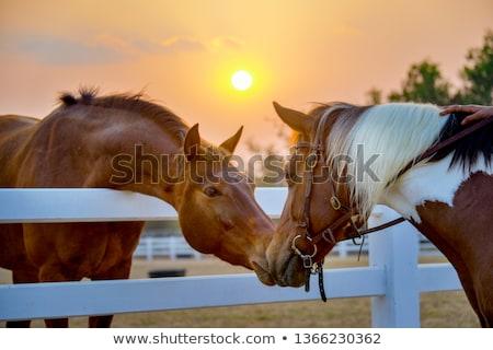 Horse in beautiful sunrise Stock photo © szefei