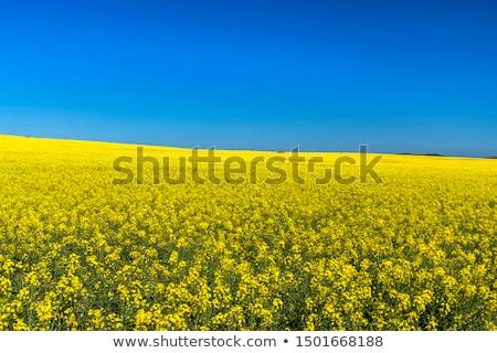 field of flowering canola stock photo © kotenko