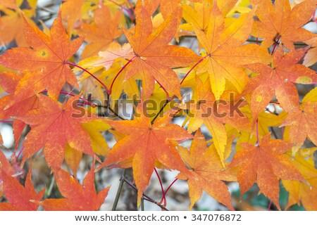 japanese · acero · eps · vettore · file · albero - foto d'archivio © bluering