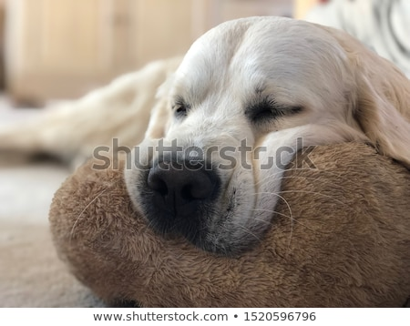 golden · retriever · brinquedo · jovem · cão · retrato · osso - foto stock © simply