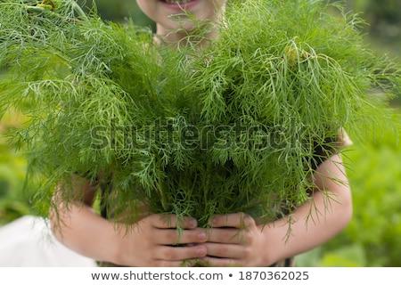 green dill in the garden Stock photo © koca777