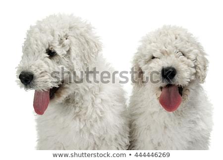 Two puppy komondors portait in white studio Stock photo © vauvau