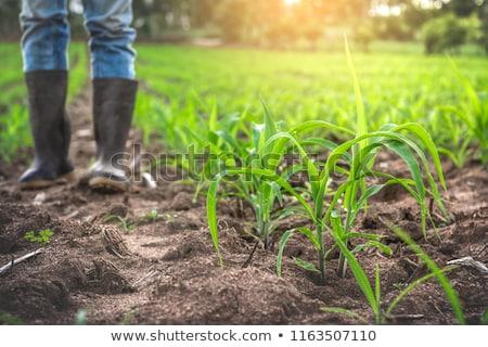 seca · cultivado · milho · campo · jovem - foto stock © stevanovicigor