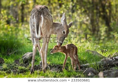 Herten reekalf lopen gras jonge dier Stockfoto © saddako2