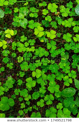 Wood sorrel leaves with water droplets in a Nordic forest Stock photo © Mps197