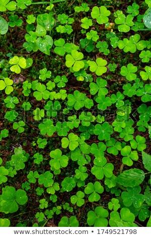 fa · levelek · vízcseppek · északi · erdő · sűrű - stock fotó © Mps197
