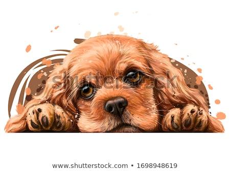 head of puppy cocker Stock photo © cynoclub