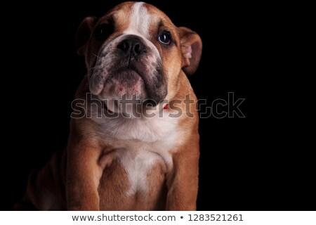 close up of classy english bulldog sitting and looking up Stock photo © feedough