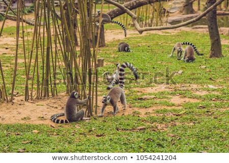 lemur catta runs around the grass in the zoo stock photo © galitskaya