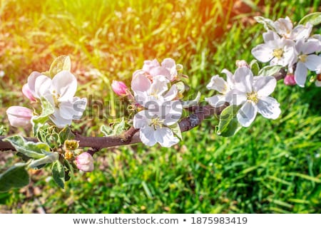 Branch of apple blossom against a green meadow  Stock photo © sarahdoow