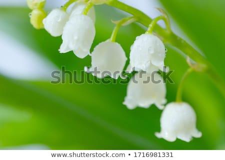 Beyaz çiçekler zambak vadi orman makro Stok fotoğraf © vapi