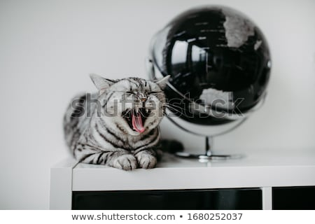silver tabby blotched british shorthair kitten on white stock photo © catchyimages