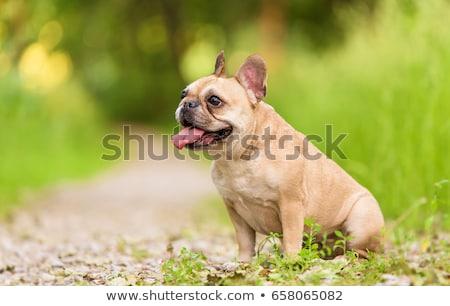 Cerca retrato adorable francés bulldog aislado Foto stock © vauvau