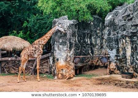 Giraffe in Zoo in Bangkok Stock photo © bloodua