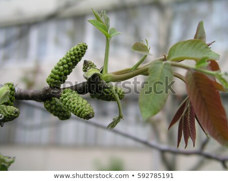 The branch of nut-tree with young leaves and catkins in the morning sunshine Stock photo © Traven