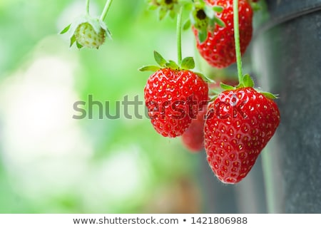 Red and green strawberries on the plant Stock photo © 3523studio