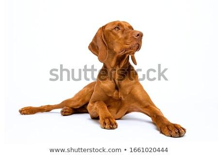 幸せ 見える 犬 クローズアップ ショット ハンガリー語 ストックフォト © brianguest