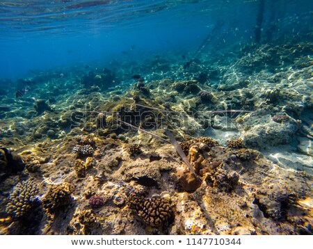 Needlefish and divers in the Red Sea. Stock photo © stephankerkhofs