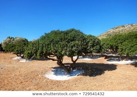 ağaç · sakız · çevre · Yunan · havlama · doğal - stok fotoğraf © timwege