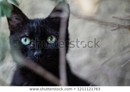 Close-up portret  black and white cat Stock photo © Zhukow