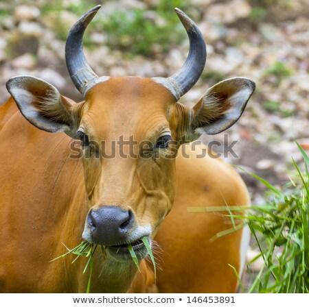 ビッグ · 牛 · フィールド · 食べ · 草 · 花 - ストックフォト © compuinfoto