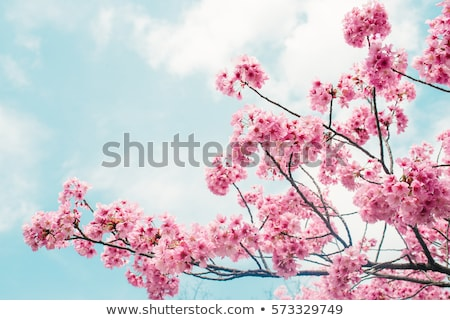spring cherry blossoms pink and blue background stock photo © bertl123