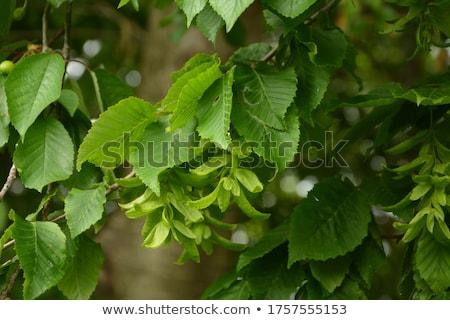 Branch of Hornbeam tree Stock photo © hanusst