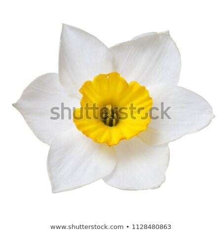 boeket · witte · narcissen · geïsoleerd · bloem · voorjaar - stockfoto © magann
