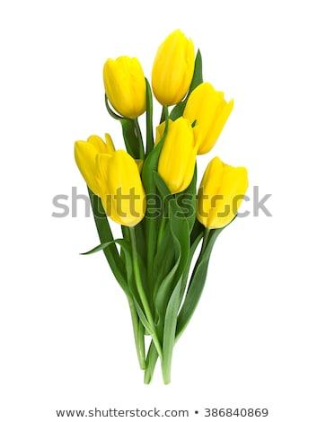 желтый Tulip изолированный белый цветок свет Сток-фото © EwaStudio