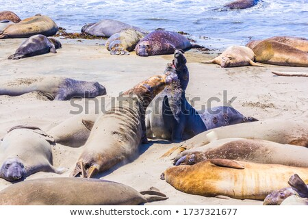 sealions relax and sleep at the sandy beach stock photo © meinzahn